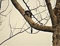 Geoffroy's tamarin (Saguinus geoffroyi) (42051890085).jpg