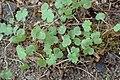 Geranium pyrenaicum kz08.jpg