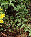 Geranium seemannii Costa Rica 1.jpg