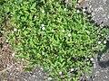 Geranium sibiricum4.JPG