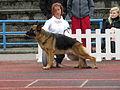 German Shepherd in Tallinn (full).JPG