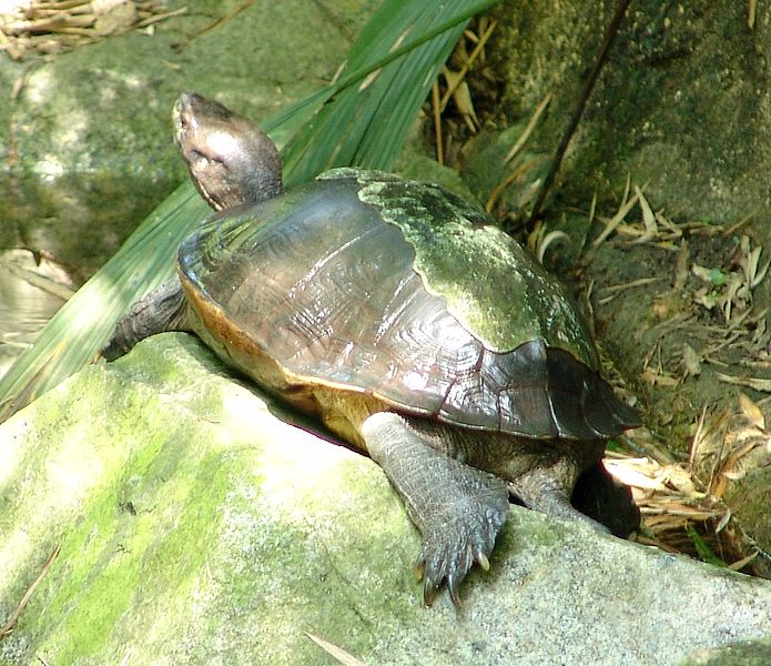 Fichier:Giant Asian Pond Turtle heosemys grandis.jpg