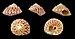 Gibbula rarilineata rarilineata 01.JPG