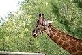 Giraffa camelopardalis (6337871028).jpg