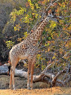 Rhodesian giraffe subspecies of mammal