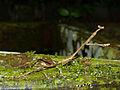 Giraffe Mantis (Euchomenella heteroptera) female (15040219774).jpg