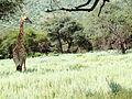 Girafo.jpg