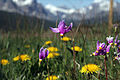 Glacier National Park Shooting Star 4283.jpg