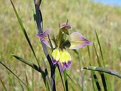 Gladiolus orchidiflorus (2).jpg