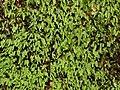 Glaucous moss watagans.jpg