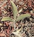 Glycine falcata leaf underside.jpg