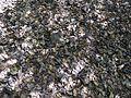 Gnetum scandens (8632000310).jpg