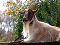 Goat close-up portrait.jpg