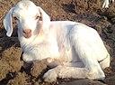 Goat kid, Kolathupalayam Getticheviyur