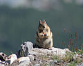 Golden-mantled ground squirrel Sulphur Mountain Banff (220357529).jpg