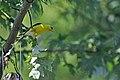 Goldfinch (4846906500).jpg