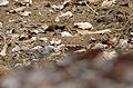 Gorrión ceja blanca, Chipping Sparrow, Spizella passerina (8691895474).jpg