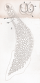Goto 1894 - Studies on the Ectoparasitic Trematodes of Japan - Plate 3 - Microcotyle reticulata.png