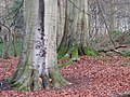 Graffiti on beech trees - geograph.org.uk - 1088275.jpg