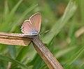 Gram Blue (Euchrysops cnejus) in Kolkata W IMG 4607.jpg
