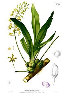 <i>Grammatophyllum scriptum</i> species of plant