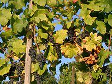 Photographie montrant une vigne non effeuillée; les feuilles au niveau des grappes sont décolorées, elles ne participent plus à la photosynthèse.