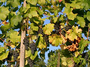 Ripeness in viticulture - Vineyard management techniques such as canopy management can influence the ripening process of grapes by balancing the amount of foliage needed for photosynthesis versus excessive foliage that shades the grapes and competes for the grapevine's resources.