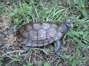 Graptemys - Graptemys pseudogeographica,  false map turtle