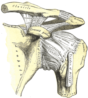 Acromioclavicular ligament - The left shoulder including the acromioclavicular joint and the proper ligaments of the scapula.