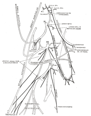 Great auricular nerve - Plan of the cervical plexus. (Great auricular labeled at top center.)
