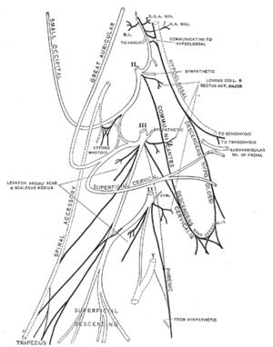 Plan of the cervical plexus.
