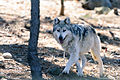 Gray Wolf Approaching (13882806695).jpg
