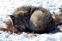 Gray wolf (Canis Lupis).jpg