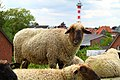 Grazing sheep on levee in Grünendeich, 8.jpg