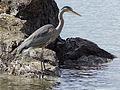 Great Blue Heron at Seahurst Park in Burien, WA.jpg