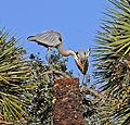 Great Blue Herons at Lake Woodruff National Wildlife Refuge - Andrea Westmoreland.jpg