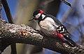 Great spotted woodpecker (49752671597).jpg
