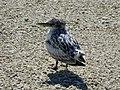 Greater Crested Tern, juvenile, Lady Elliot Island, Queensland.jpg