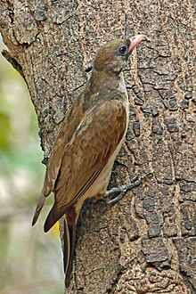 Greater Honeyguide, Gambia.jpg