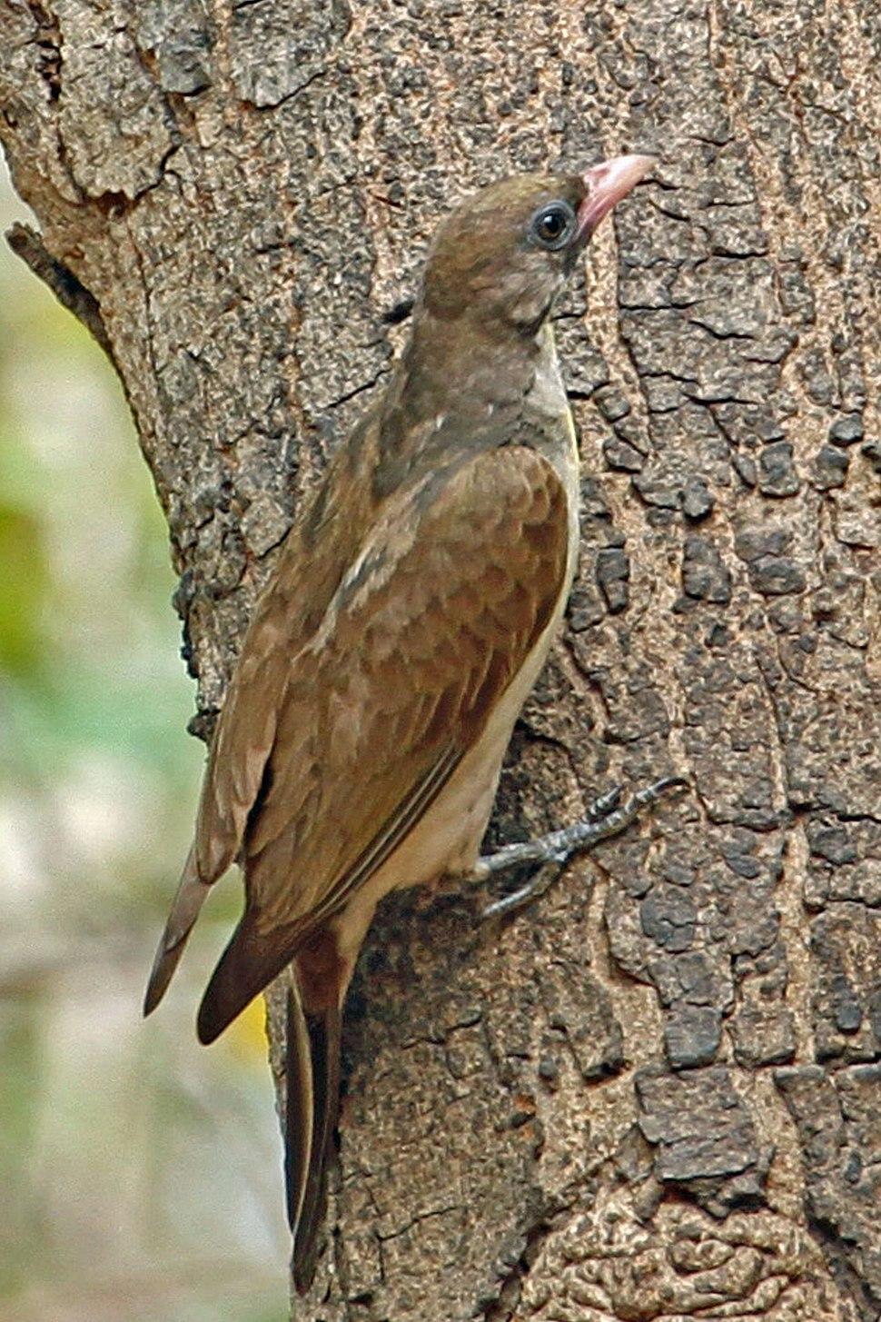 Greater Honeyguide, Gambia