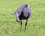 Greater Rhea (Rhea americana) - Flickr - Lip Kee.jpg