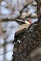 Green-barred Woodpecker(Colaptes melanochloros) (8077516936).jpg