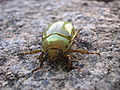 Green-gold beetle.JPG