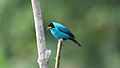 Green Honeycreeper male (4089391729).jpg