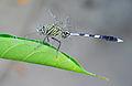 Green Marsh Hawk (Orthetrum sabina), Burdwan, West Bengal, India 22 09 2012 (2).JPG