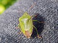 Green Shield Bug (Palomena prasina).jpg