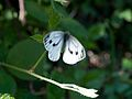Green Veined White (Pieris napi) (7969164412).jpg