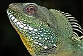 Green Water Dragon (Physignathus cocincinus) male (7783192098).jpg