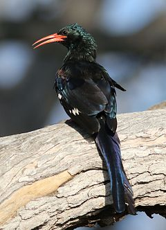 Green Wood Hoopoe, Phoeniculus purpureus, at Mapungubwe National Park, Limpopo, South Africa (29563612553).jpg