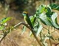 Green bee-eater-Merops orientalis.jpg